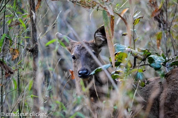 A curious sambar looks on probably thinking its morning and the humans are here and perhaps its time for him to hide in the undergrowth