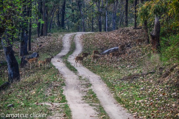 The chital(spotted deer) rush about crossing the road as they hear the gypsy approaching!