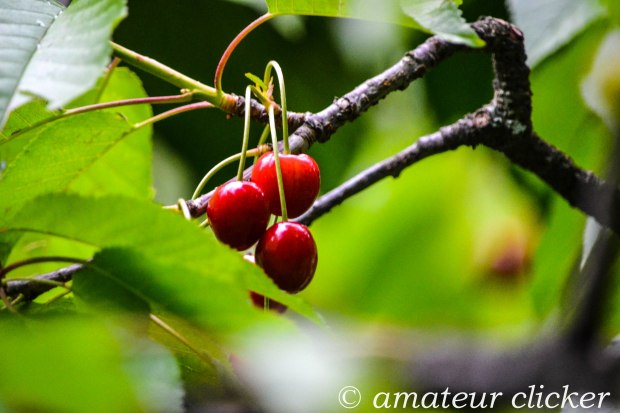 When there is nothing to do you can get down to plucking the reddest of red Cherries!