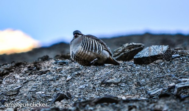 A chukar patridge bosses the area!