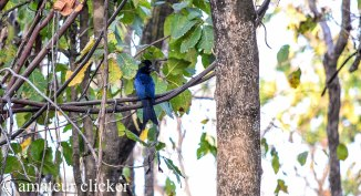 Finally a near good shot of the Greater Racket Tailed Drongo after 3 years!